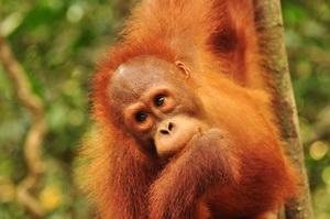 Orangutany Borneo, Semeggoh, Malezja - 05.2011