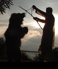 Tańczący niedźwiedź - zdjęcie dzięki uprzejmości Wildlife SOS