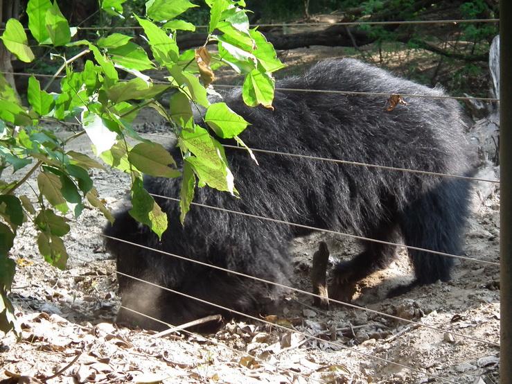 Wargacz w Centrum Ratowania Niedźwiedzi w Agrze
