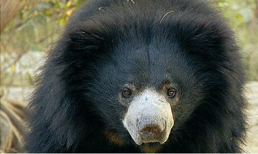 Wargacz w Centrum Ratowania Niedźwiedzi - zdjęcie dzięki uprzejmości Wildlife SOS