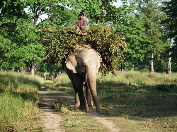 Udomowiony słoń w Parku Narodowym Bardia