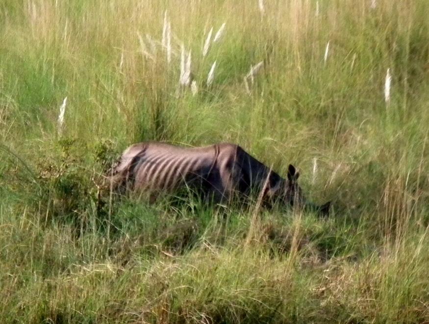 Nosorożec w Parku Narodowym Bardia