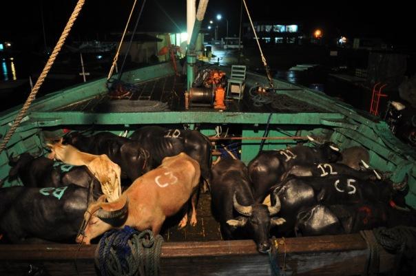 Prom towarowy z El Nido do Coron - ładunek zwierzęcy