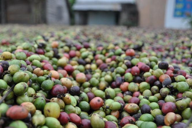 Na Płaskowyżu Centralnym susząca się kawa zdobi podwórko co drugiego domu