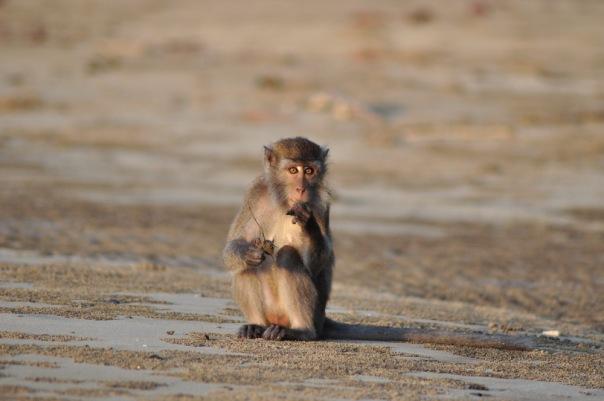 Mlody makak plazuje sie w Parku Narodowym Bako