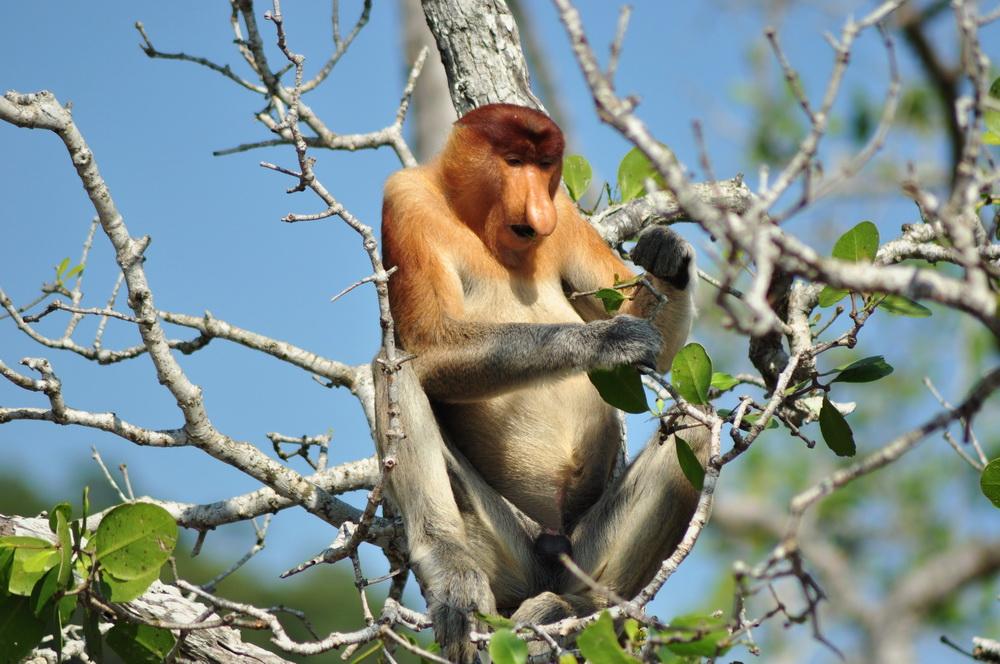 """Charakterystyczny nos oraz duze brzuchy sprawily, ze nosacze sundajskie przez miejscowych od wiekow nazywane sa """"Orang belanda"""" czyli """"Holendrami"""""""