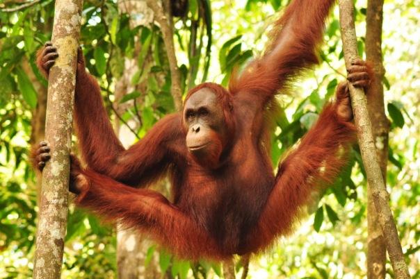 orangutan borneo semenggoh malaysia female