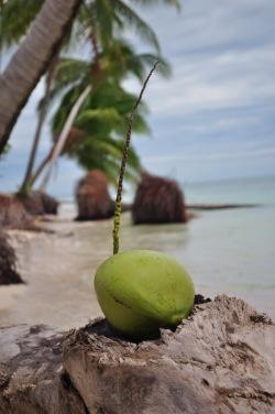 Kilka drobnych skaleczen, zastrzyk adrenaliny na 8 metrach i oto jest - pierwszy osobiście zerwany kokos