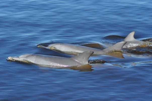 Z okazji naszego przybycia, do centrum Perth przypłynęły nawet dzikie delfiny