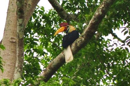 Ponad metrowe tukany z mieszkańcami północnego Celebesu żyją za pan brat. I nie potrzeba do tego nawet Parku Narodowego