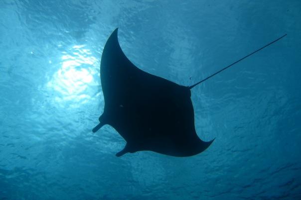 Nurkowanie z mantami - jedna z licznych podwodnych atrakcji Parku Narodowego Komodo