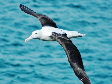 Albatros nad Otago