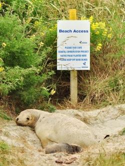 Przejścia na plażę nie ma. Teraz mieszka tu lew morski.