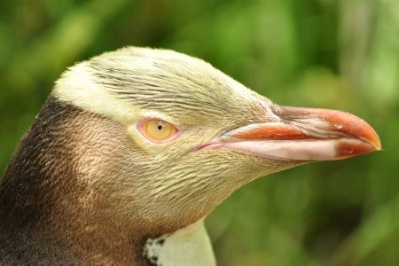 Pingwin żółtooki na Wyspie Południowej