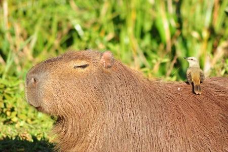 kapibara myśli