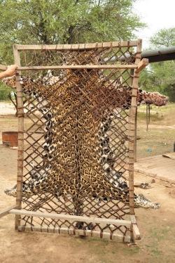 Jaguar - najszlachetniejszy ssak Ameryki Południowej, tu niestety w wersji wyprawionej