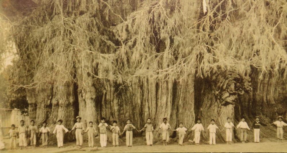 Największe drzewo świata - the biggest tree in the world
