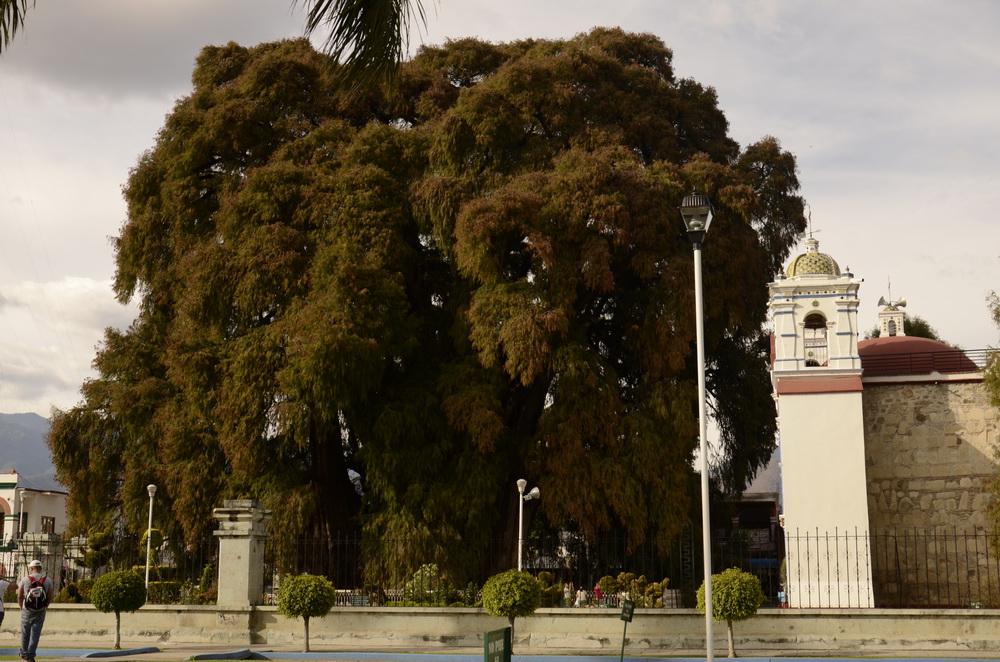 Największe drzewo świata